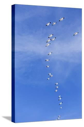 Snow Geese, New Mexico-Paul Souders-Stretched Canvas Print
