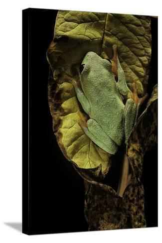 Agalychnis Moreletii (Black-Eyed Tree Frog)-Paul Starosta-Stretched Canvas Print