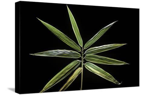 Hibanobambusa Tranquillans 'Shiroshima' (Shiro-Shima-Iny?inyouchikuzoku, Bamboo) - Leaf-Paul Starosta-Stretched Canvas Print