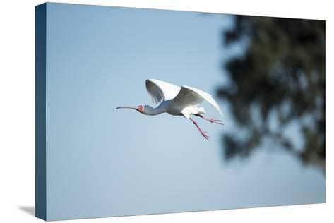 Spoonbill in Flight, Moremi Game Reserve, Botswana-Paul Souders-Stretched Canvas Print