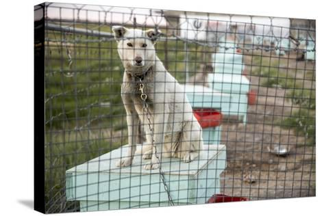 Sled Dog, Rankin Inlet, Nunavut, Canada-Paul Souders-Stretched Canvas Print