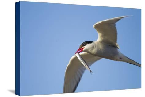 Arctic Tern, Hudson Bay, Canada-Paul Souders-Stretched Canvas Print