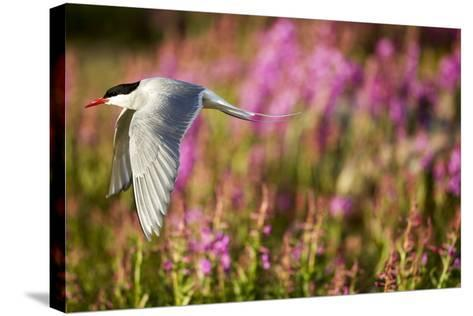 Arctic Tern in Flight, Hudson Bay, Canada-Paul Souders-Stretched Canvas Print