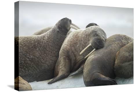 Walrus Herd on Iceberg, Hudson Bay, Nunavut, Canada-Paul Souders-Stretched Canvas Print
