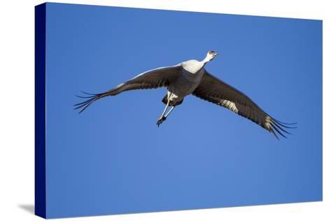 Sandhill Cranes in Flight, Bosque Del Apache, New Mexico-Paul Souders-Stretched Canvas Print