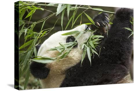Giant Panda, Chengdu, China-Paul Souders-Stretched Canvas Print