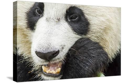 Giant Panda, Chengdu, China-Paul Souders-Stretched Canvas Print