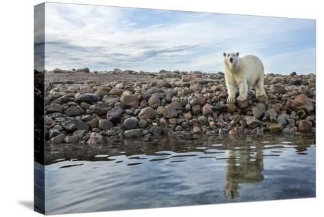 Polar Bear, Hudson Bay, Nunavut, Canada-Paul Souders-Stretched Canvas Print