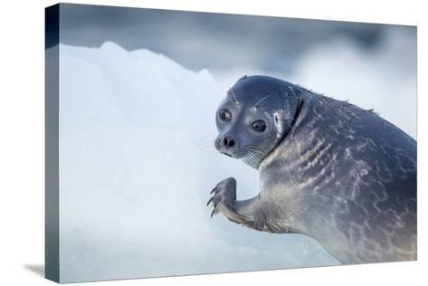Ringed Seal Pup, Nunavut, Canada-Paul Souders-Stretched Canvas Print