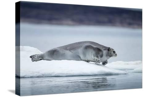 Ringed Seal on Iceberg, Nunavut, Canada-Paul Souders-Stretched Canvas Print