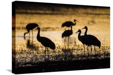 Sandhill Cranes, Bosque Del Apache, New Mexico-Paul Souders-Stretched Canvas Print