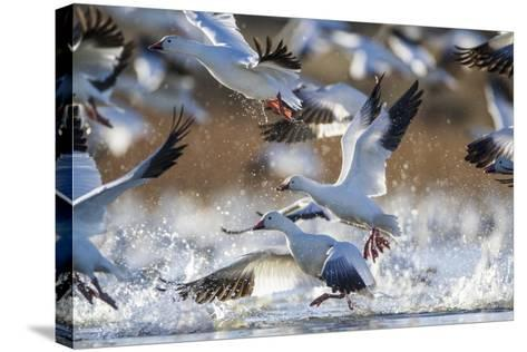 Snow Geese, Bosque Del Apache, New Mexico-Paul Souders-Stretched Canvas Print