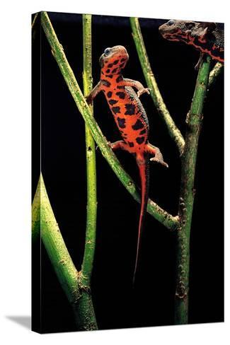 Cynops Pyrrhogaster (Japanese Fire-Bellied Newt)-Paul Starosta-Stretched Canvas Print