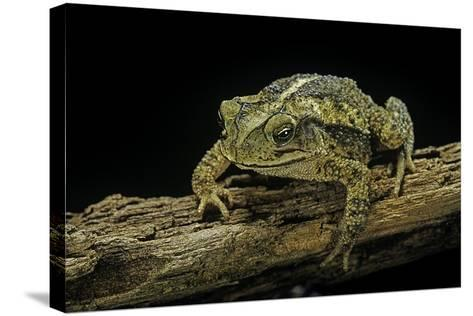 Incilius Valliceps (Gulf Coast Toad)-Paul Starosta-Stretched Canvas Print