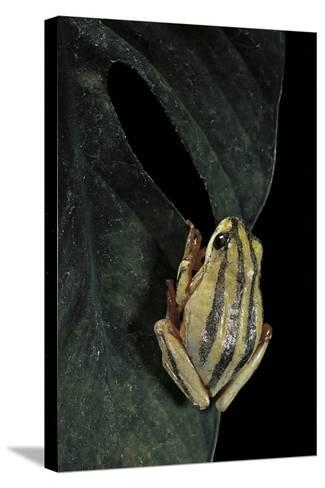Hyperolius Marmoratus Taeniatus (Marbled Reed Frog, Painted Reed Frog)-Paul Starosta-Stretched Canvas Print