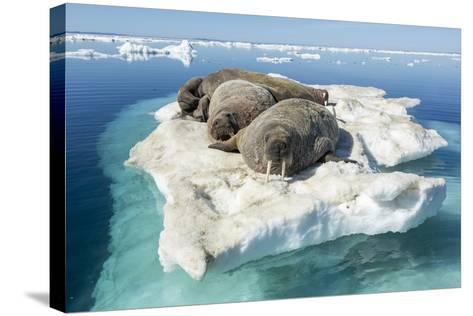 Walruses on Iceberg, Hudson Bay, Nunavut, Canada-Paul Souders-Stretched Canvas Print