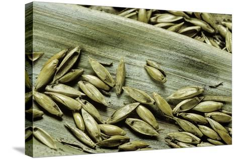 Bambusa Arundinacea (Bamboo) - Seeds-Paul Starosta-Stretched Canvas Print