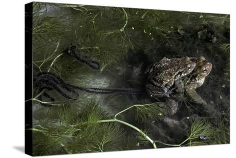 Bufo Bufo (European Toad, Common Toad) - Mating-Paul Starosta-Stretched Canvas Print