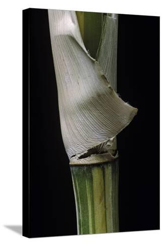 Bambusa Multiplex 'Alphonse Karr' (Bamboo) - Shoot-Paul Starosta-Stretched Canvas Print