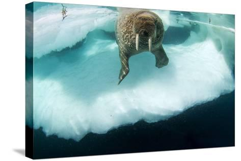 Underwater View of Walrus, Hudson Bay, Nunavut, Canada-Paul Souders-Stretched Canvas Print