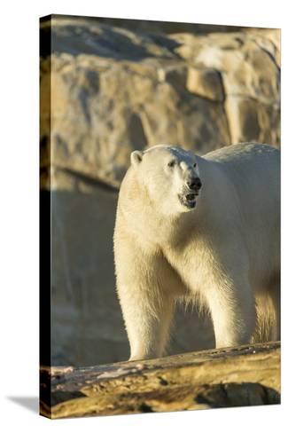 Polar Bear along Hudson Bay, Nunavut, Canada-Paul Souders-Stretched Canvas Print