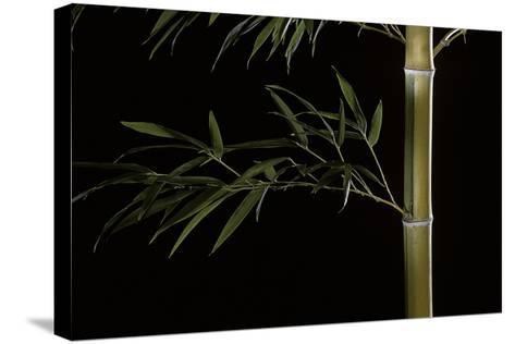 Phyllostachys Pubescens (Mosochiku Bamboo)-Paul Starosta-Stretched Canvas Print