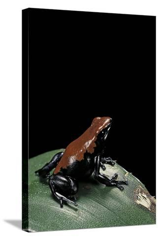 Adelphobates Galactonotus (Splash-Backed Poison Frog)-Paul Starosta-Stretched Canvas Print