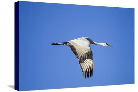 Sandhill Crane in Flight, Bosque Del Apache, New Mexico-Paul Souders-Stretched Canvas Print