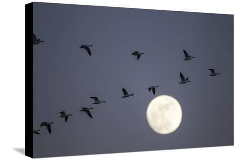 Snow Geese and Full Moon, New Mexico-Paul Souders-Stretched Canvas Print