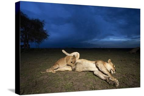Lioness and Cub-Paul Souders-Stretched Canvas Print