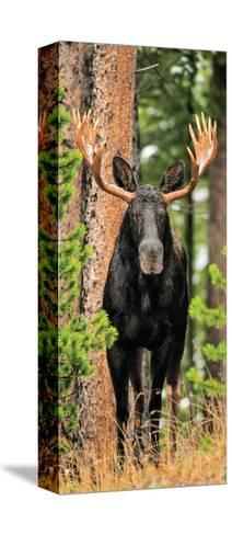 Skinny Chocolate Moose-Gary Crandall-Stretched Canvas Print