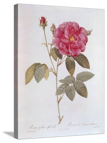 The Rose Rosa Gallica Officinalis-Pierre Joseph Redout?-Stretched Canvas Print