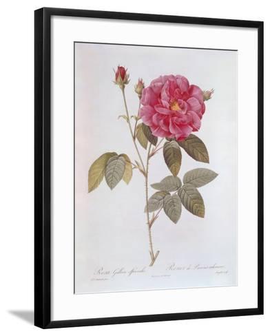 The Rose Rosa Gallica Officinalis-Pierre Joseph Redout?-Framed Art Print