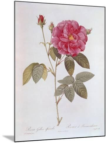 The Rose Rosa Gallica Officinalis-Pierre Joseph Redout?-Mounted Giclee Print