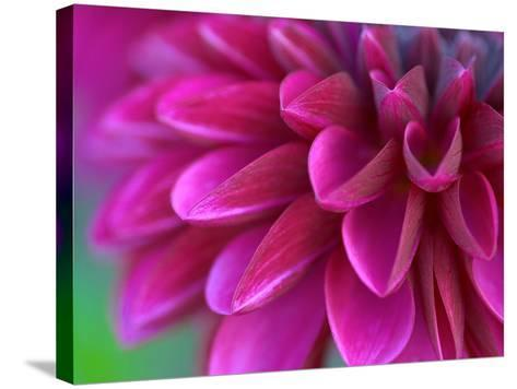Pink Chrysanthemum--Stretched Canvas Print