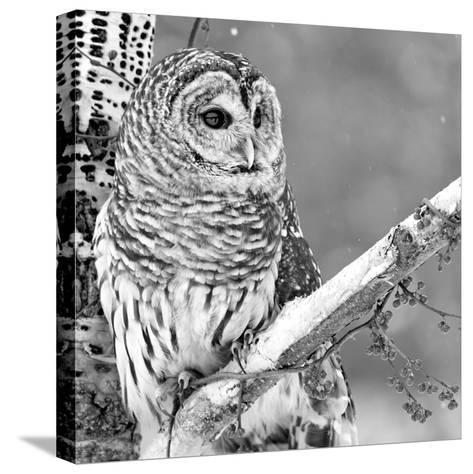 White Owl--Stretched Canvas Print
