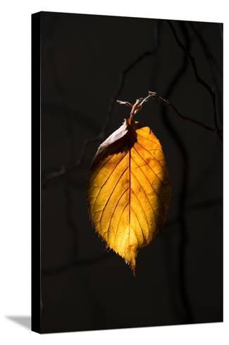 Gold Leaf-Philippe Sainte-Laudy-Stretched Canvas Print