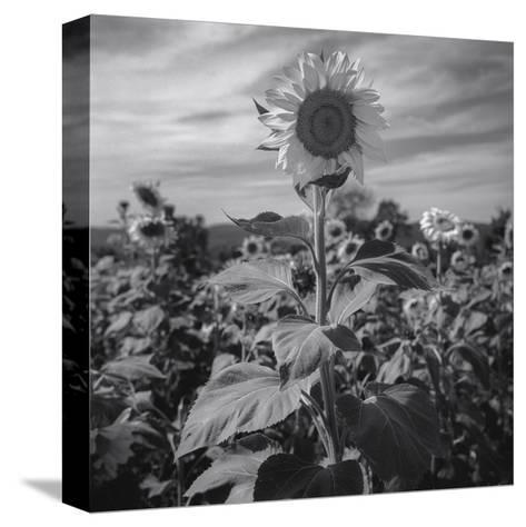 Sunflower in Field 2-Henri Silberman-Stretched Canvas Print