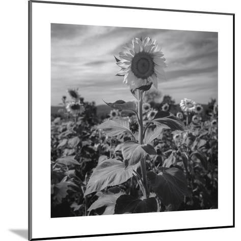 Sunflower in Field 2-Henri Silberman-Mounted Photographic Print