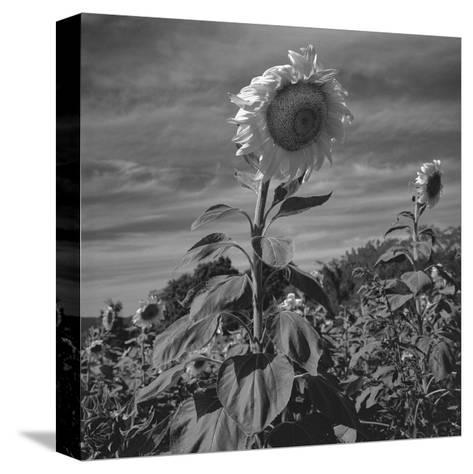Sunflowers in Field-Henri Silberman-Stretched Canvas Print