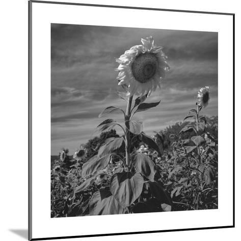 Sunflowers in Field-Henri Silberman-Mounted Photographic Print