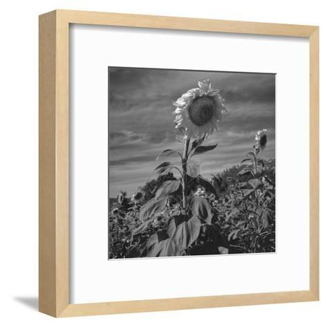 Sunflowers in Field-Henri Silberman-Framed Art Print
