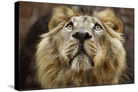 A Lion in Captivity Looking Up--Stretched Canvas Print