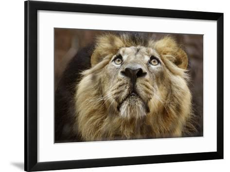 A Lion in Captivity Looking Up--Framed Art Print