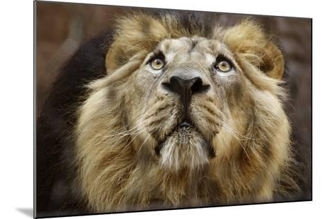 A Lion in Captivity Looking Up--Mounted Photo
