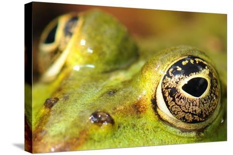 Close-Up of the Eye of a Frog in a Pond Awaiting His Prey--Stretched Canvas Print