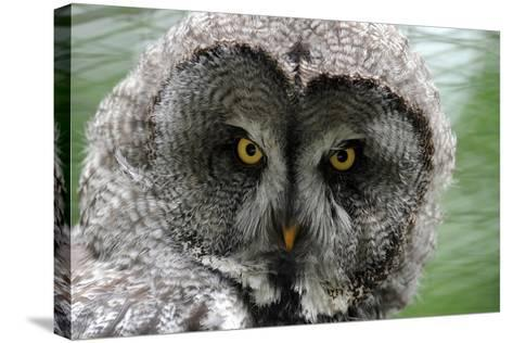 A Lapland-Great Gray Owl at the Zoo in Dortmunde--Stretched Canvas Print
