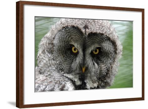 A Lapland-Great Gray Owl at the Zoo in Dortmunde--Framed Art Print