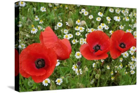 A Red Poppy Flowers-Frank May-Stretched Canvas Print