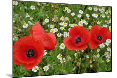 A Red Poppy Flowers-Frank May-Mounted Photo
